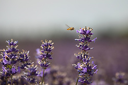 © Licensed to London News Pictures. 23/07/2014. Summerdown Farm, Hampshire, UK. A hoverfly about to land on Lavender flowers in bloom on Summerdown farm near Malshanger in Hampshire. The lavender will be harvested and distilled into lavender oil. Photo credit : Rob Arnold/LNP