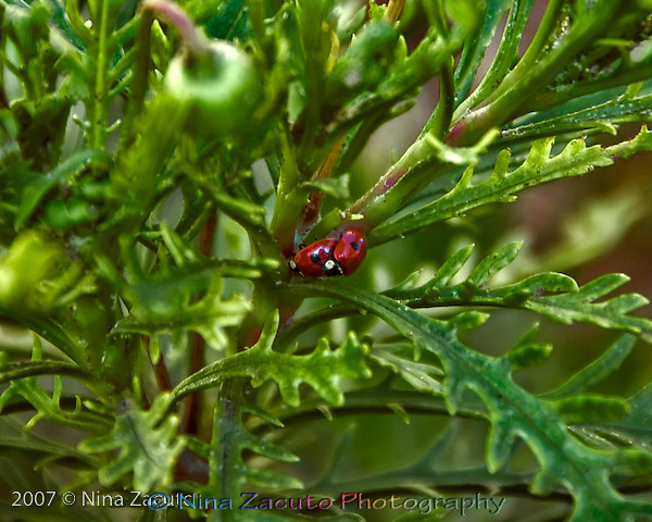 Two ladybugs on top of each other.<br />