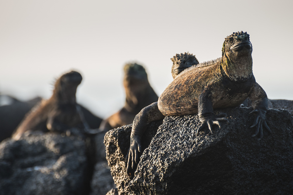 A group of marine iguanas sit on the rock, Isla Isabela, Galapagos, Ecuador.