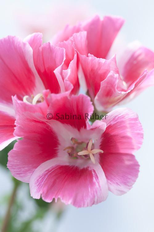 Clarkia amoena 'Azalea Flowered Mix' - godetia