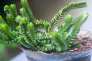 Crassula muscosa (Watch Chain). is a succulent plant native to South Africa and Namibia, belonging to the family of Crassulaceae and to the genus Crassula. It is a houseplant grown worldwide and commonly known as rattail crassula, watch chain, lizard's tail, zipper plant and princess pine. Photographed in Israel in June