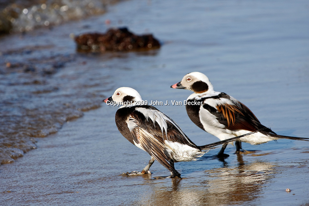 Two Long-tailed Ducks walking into the surf