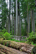 Fallen trees at Cathedral Grove in Macmillan Provincial Park near Port Alberni, British Columbia, Canada