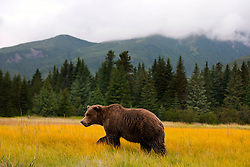North American brown bear / coastal grizzly bear (Ursus arctos horribilis) sow walks in a field, Lake Clark National Park, Alaska, United States of America