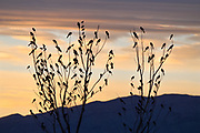 Blackbird flock decorating winter trees