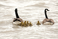 A Canadian Goose family out for a windy day swim.