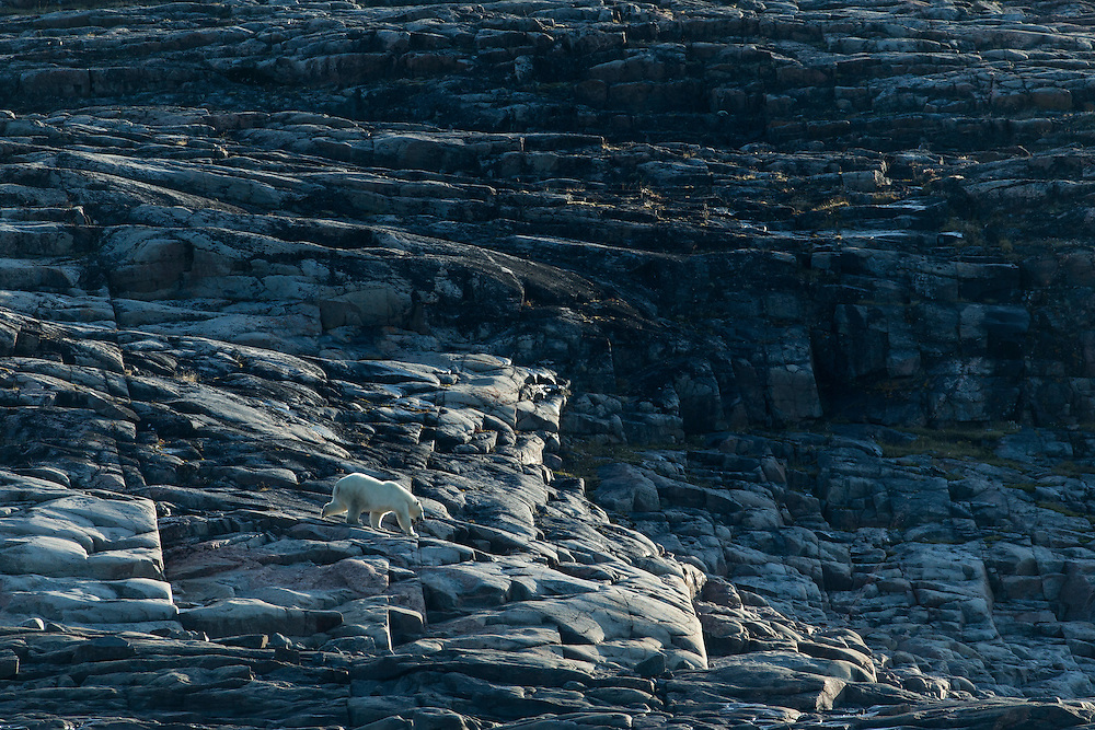 Canada, Nunavut Territory, Repulse Bay, Polar Bear (Ursus maritimus) walking along Harbour Islands along Hudson Bay on summer morning
