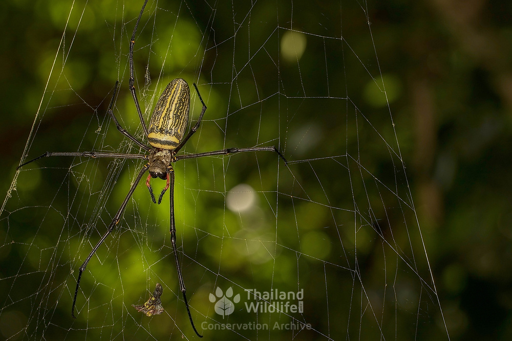 Golden Orb Web Spider (Nephila pilipes). The Nephila pilipes' golden web is vertical with a fine irregular mesh and not symmetrical, with the hub usually nearer the top. Rather than egg sacks being hung in the web, a pit is dug which is then covered with plant debris or soil.