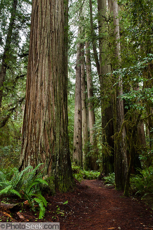 Walk in one of the world's tallest forests on Simpson-Reed Trail, in Jedediah Smith Redwoods State Park, along US Route 199 at Walker Road, Crescent City, Del Norte County, California, USA. The last major free flowing river in California, the Smith River, flows past old growth redwoods protected in this coastal park established in 1929. As part of two trapping expeditions from 1826-1830, explorer Jedediah Smith was the first white American to travel overland from the Mississippi River to California, and the first to reach the Oregon Country overland via the California coast. The coast redwood (Sequoia sempervirens, in the cypress family Cupressaceae) is the tallest tree species on Earth, reaching up to 379 feet (115.5 m) high and up to 26 feet (7.9 m) diameter at breast height. This evergreen tree can live 1200 to 1800 years or more. Since the 1850s, more than 95% of the original old-growth redwood forest was cut down for lumber along coastal northern California and southwestern Oregon. The coastal redwood forest is a remnant of a larger group of trees that has existed for 160 million years. California's Redwood National and State Parks were honored as a World Heritage Site by UNESCO in 1980.