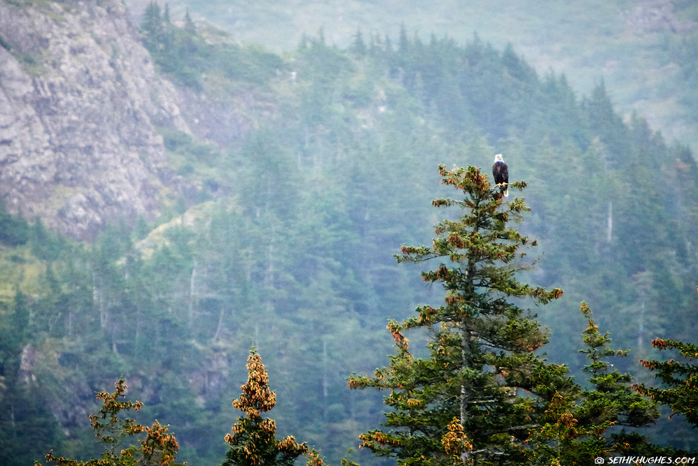 A bald eagle sits atop a pine tree Kenai Fjords National Park, Alaska