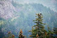A bald eagle sits atop a pine tree Kenai Fjords National Park, Alaska