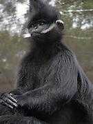 Black Mangabey Primate (Lophocebus Aterrimus)