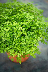 Anthriscus cerefolium - Chervil - in a pot