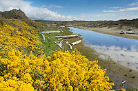 Vibrant yellow blossoms of Gorse near Bandon Oregon