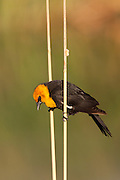 Yellow Headed Blackbird in a slough on the Colorado River.
