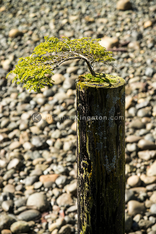 A small pine tree grows on the top of a dock piling in BC.