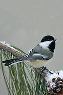 Adult<br /> St. Louis Co., MN<br /> January 2005