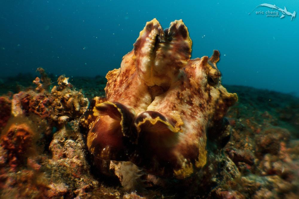 Flamboyant cuttlefish (Metasepia pfefferi). Lembeh Strait, Indonesia. echeng100306_0253325
