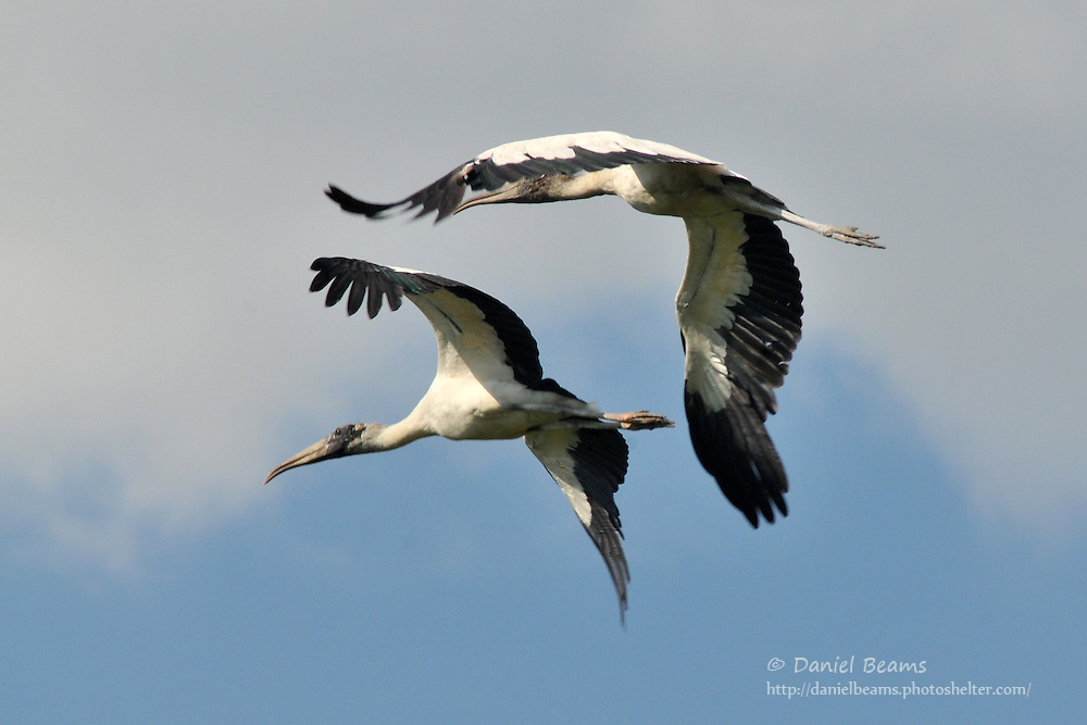 Two Wood Storks in flight near San Lorenzo de Moxos, Beni, Bolivia