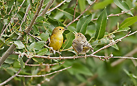 A female Yellow Warbler and its young chick perched on a branch while singing to each other.