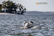 Bottlenose dolphins in Everglades National Park, Florida, USA