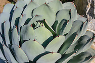 Agave, Desert Garden, The Huntington Library, Art Collections, and Botanical Gardens, California
