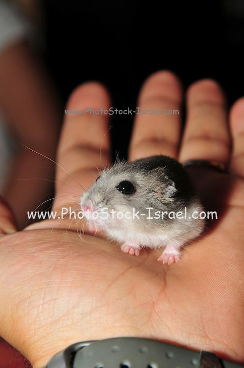 Pet Winter white Russian dwarf hamsters (Phodopus sungorus)