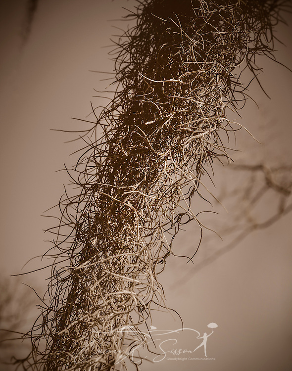 """Spanish moss hangs from a tree on Mangum Avenue, Feb. 6, 2015 in Selma, Alabama. Spanish moss (Tillandsia usneoides) tends to grow in warm, humid climates and can be found throughout the southeastern United States. Spanish moss is an epiphyte and derives its nutrients and water from the air and rain. It is commonly called an """"air plant."""" Though it does not kill trees, as many people commonly believe, it can stunt the trees' growth by blocking the light that would normally reach the leaves. It also increases the trees' wind resistance, making them vulnerable during storms. Because of its prevalence, Spanish moss is commonly associated with the South and Southern Gothic imagery. (Photo by Carmen K. Sisson/Cloudybright)"""