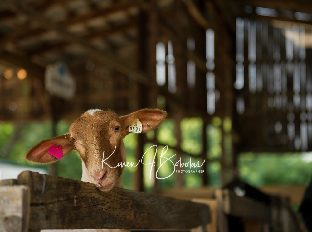 """""""Mabel"""" just before her Fitting and Show at the Belmont Fairgrounds 4H Fair Sunday morning.  (Karen Bobotas/for the Laconia Daily Sun)"""