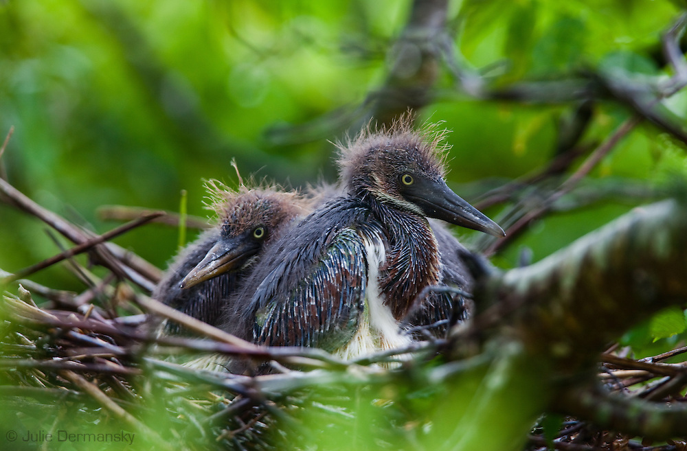 Baby tri-colored Herons in a nest on a rockery in Lake Boeuf in Lafourche Parish, part of Southern Louisiana's wetlands. Southeastern Louisiana's  wetlands are threaten by coastal erosion, climate change and the oil and gas industry.
