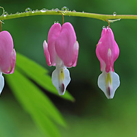 Bleeding heart flower panorama photography fine art from floral photographer and Boston based master photographer Juergen Roth. <br /> <br /> Floral panorama photography artworks are available as museum quality photography prints, canvas prints, acrylic prints or metal prints. Fine art prints may be framed and matted to the individual liking and decorating needs:<br /> <br /> https://juergen-roth.pixels.com/featured/bleeding-heart-flower-panorama-juergen-roth.html<br /> <br /> All photos are available for photography image licensing at www.RothGalleries.com. Please contact me direct with any questions or request.<br /> <br /> Good light and happy photo making!<br /> <br /> My best,<br /> <br /> Juergen<br /> Prints: http://www.rothgalleries.com<br /> Photo Blog: http://whereintheworldisjuergen.blogspot.com<br /> Twitter: @NatureFineArt<br /> Instagram: https://www.instagram.com/rothgalleries<br /> Facebook: https://www.facebook.com/naturefineart