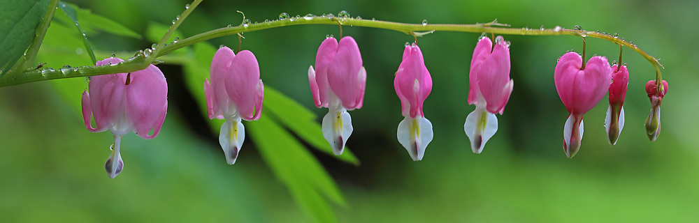 Bleeding heart flower panorama photography fine art from floral photographer and Boston based master photographer Juergen Roth. <br />