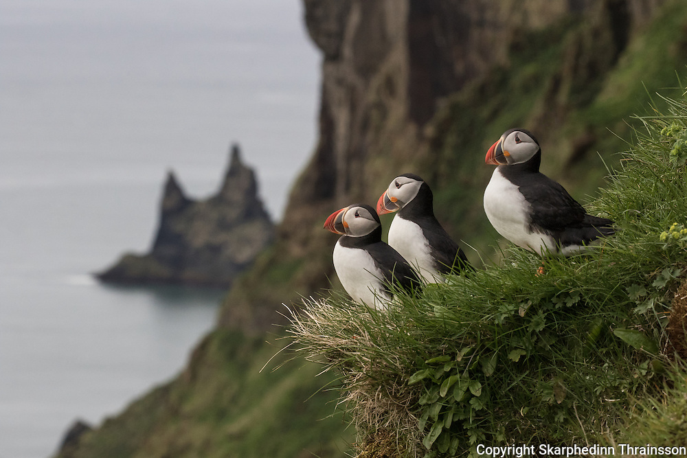 Puffin in Vik