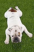 Bulldog Lying on Grass