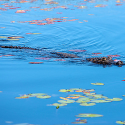 """Jacaré-do-pantanal (Caiman yacare) fotografado em Corumbá, Mato Grosso do Sul. Bioma Pantanal. Registro feito em 2017.<br /> <br /> <br /> <br /> ENGLISH: Yacare Caiman photographed in Corumbá, Mato Grosso do Sul. Pantanal Biome. Picture made in 2017."""