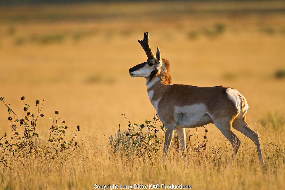 Pronghorn (Antilocapra americana) buck in rut, New Mexico, September