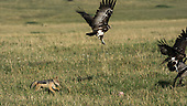 Jackal vs. Vultures