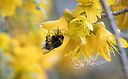 Bumble bee gathers nectar from a yellow flower in Porcelana Bay, Chile.