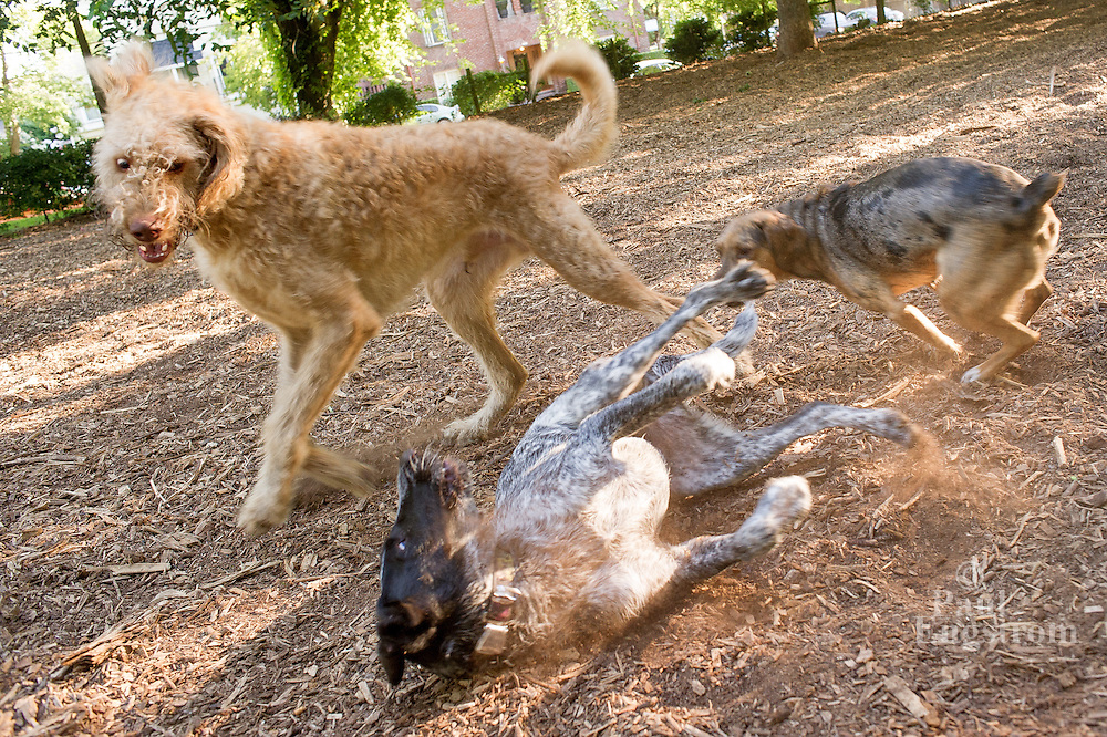Herman, Sadie, and Roux, front, play at the shared dog park at Wallace Park (NW 25th Ave and Raleigh St.) 7:34am