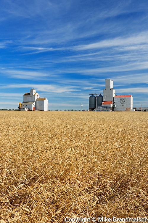 Wheat field and grain elevators<br /> Lang<br /> Saskatchewan<br /> Canada