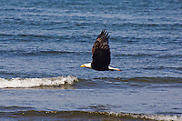 Bald Eagle soars over the Pacific Ocean, Olympic National Park, Washington.