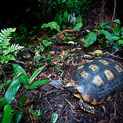 South American yellow-footed tortoise (Geochelone denticulata). Family: Testudinidae. Photographed at the Malinowsky Control Post in the Tambopata National Reserve at the confluence of Malinowsky and Tambopata Rivers in the Madre de Dios Department of Peru. Tambopata National Reserve is threatened by development brought in by the new Interoceanic Highway and is part of the Manu - Tambopata Conservation Corridor.