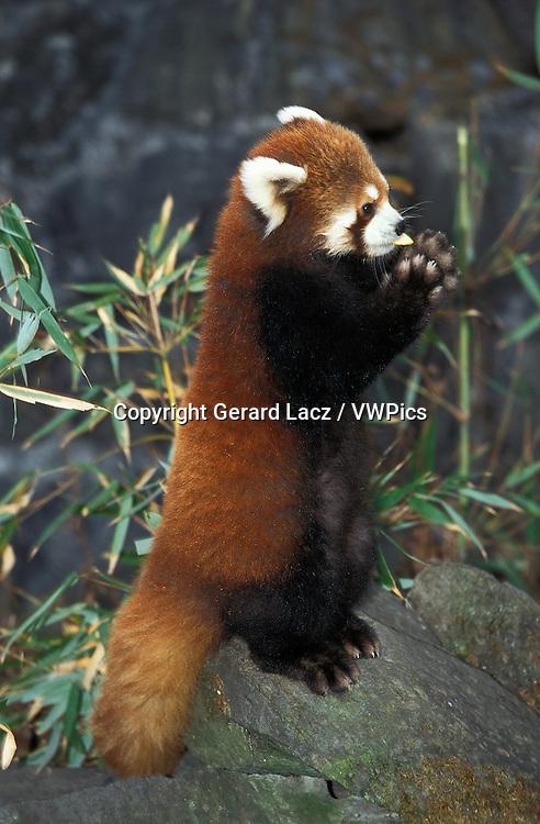 RED PANDA ailurus fulgens, ADULT STANDING ON HIND LEGS