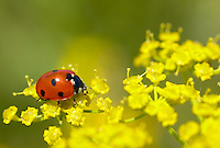Fennel growing in sand dunes. With 7 spot ladybird