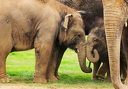 © Licensed to London News Pictures. 18/09/2014 London, UK. A two day old baby elephant (right) squares up to his big brother, three year old Scott at Whipsnade Zoo, Beds. The male calf was born on September 16th to fourth time mum 30 year old Azizah and weighs in at 133kg. The as yet unnamed male was unusually born outside amongst the ten strong Whipsnade herd.  Photo credit : Simon Jacobs/LNP