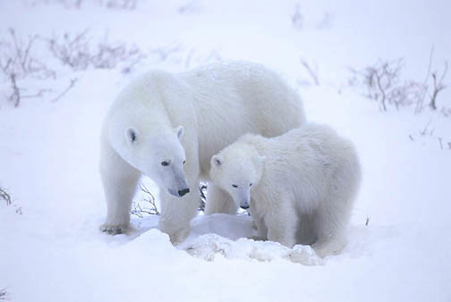 Polar Bear(Ursus mari timus) Mother and cub watch over dying cub. Cape Churchill. Manitoba. Canada. Winter.