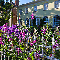 Purple clematis and pink perennial swwet peas tumble over a white picket fence in the front entry garden  of a charmning yellow house.