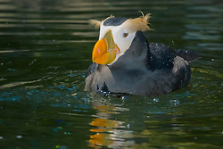 tufted puffin or crested puffin, Fratercula cirrhata, bathing, Oregon Coast Aquarium, Newport, Oregon, USA (c)