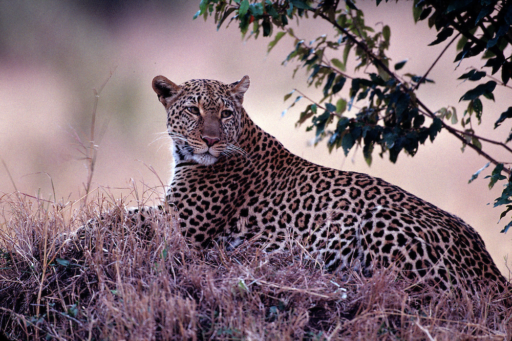 Africa, Kenya, Masai Mara Game Reserve, Adult Female Leopard (Panthera pardus) resting in tall grass at dusk