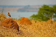 Sao Jose do Rio Preto_SP, Brasil...Programa Biota da Unesp, na foto uma coruja...The Biota program of Unesp, in this photo an owl.. .Foto: JOAO MARCOS ROSA /  NITRO